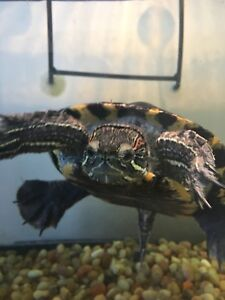 Selling my turtle and it's setup.