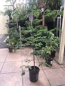 Moringa Oleifera - Drumstick Plants Casula Liverpool Area Preview