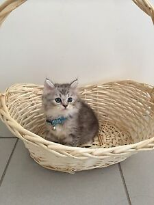 Beautiful kittens Carina Brisbane South East Preview