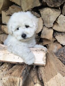 Westie | Adopt Dogs & Puppies Locally in Canada | Kijiji