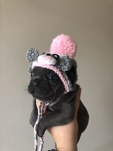 Purebred French Bulldog Puppies
