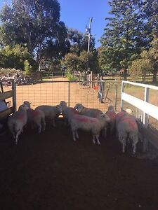 10 Lambs for sale Young Young Area Preview