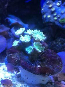 Duncan coral frags and other coral for sale