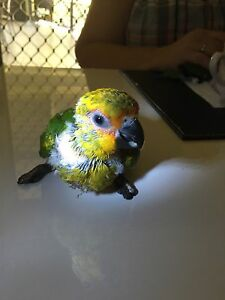 Fully hand raised Sun x Jenday Conure Wamuran Caboolture Area Preview
