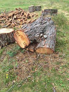 Large pine stump