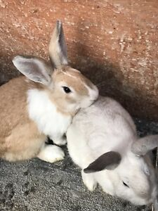 2 male rabbits for free