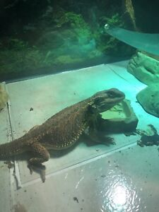 Will trade bearded dragon and tank for an aquarium