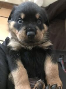 Pedigree Rottweiler Puppies Dogs Puppies Gumtree Australia