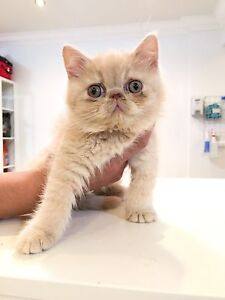 Top Quality Exotic Shorthair