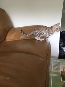 Two Purebred Bengal Kittens for sale