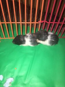 Baby Syrian Hamsters&cage REDUCED