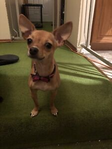Purebred Female Chihuahua For Sale