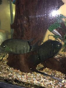 XXL Green Severum Pair Baulkham Hills The Hills District Preview