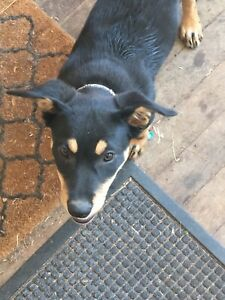 Kelpie pup ( Working home)