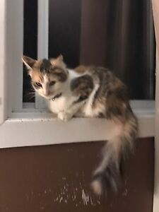 Beautiful Calico free to a good home