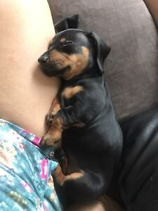 Purebred Female Dachshund Puppy - Perfect Christmas baby