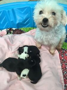 White, black, and tan morkie pups