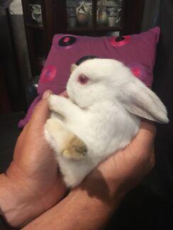 Netherland dwarf bunny rabbits