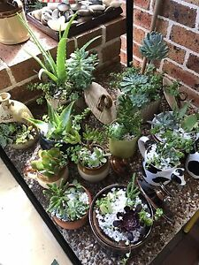 Potted succulents Cherrybrook Hornsby Area Preview