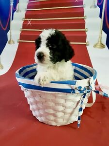 Registered Standard Poodle Puppies
