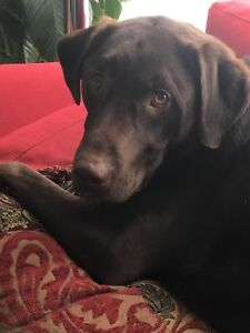 Handsome Two year old Chocolate lab needs to be re-homed
