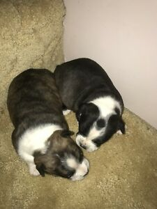 2 Male Bo-Jacks pups for sale
