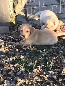 Pure bred Lab puppies