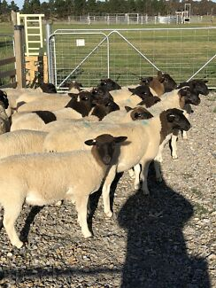 Pure dorper ewes and rams for sale. !