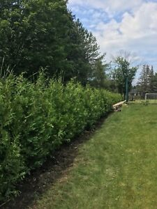 CEDAR TREES FOR HEDGING