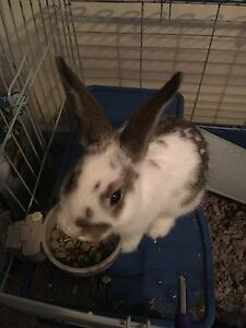 Dwarf mix bunny for rehoming