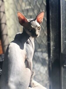 9 month old male Sphynx
