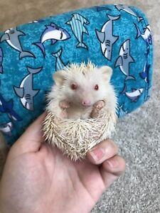 Baby albino hedgehogs