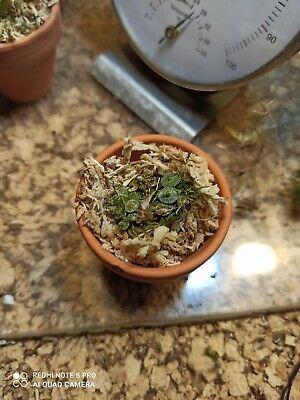 pianta Orchidea miniatura specie botanica rara conschidium extintorium