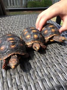 Year old red foot tortoises!