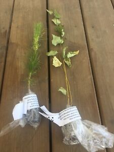 Free trees for sale pine