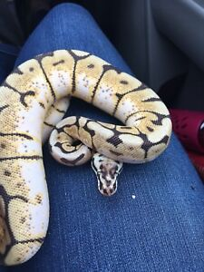 Bumblebee ball python in search of new home