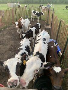 Weaned bull calves
