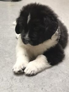Adopt Dogs & Puppies Locally in Canada   Pets   Kijiji Classifieds
