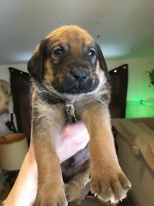 Awesome puppies!  Cute. Intelligent mastiff/poodle mix.