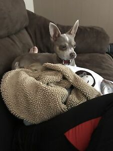 Loving 8 month old chihuahua