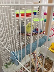 2 budgies for sale with cage and toys