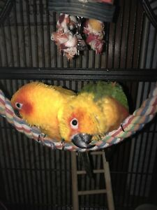Sun Conure/Jenday Conure female pair (best buddies!)