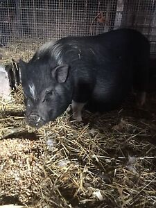 year old pot belly pig