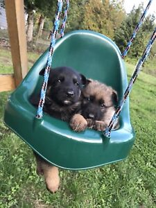 German Shepherd puppies rehome