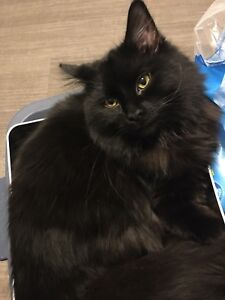9 month old domestic long hair needs loving home.