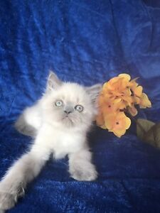 CHATON HIMALAYEN MALE BLEU POINT