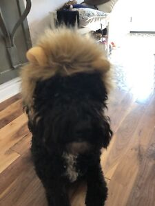 Halloween Lion costume for dog or cat