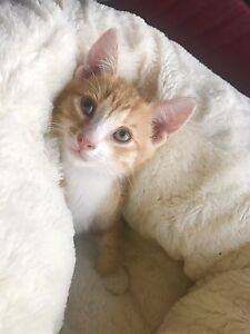 Kitten for sale Ipswich Ipswich City Preview