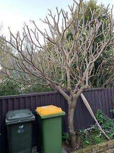 Large Frangipani Tree