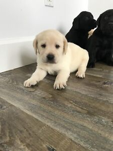 CKC Yellow and Black Lab Pups